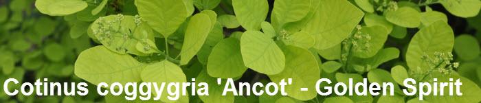 Cotinus coggygria 'Ancot' - Golden Spirit