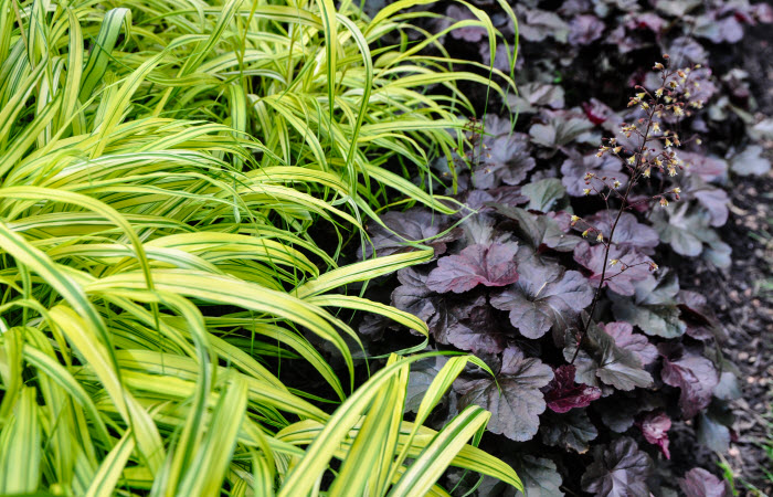 Heuchera 'Obsidian' and Hakonekloa macra 'Aureola' : Six Chartreuse Perennials and Shrubs for your Garden, Thinking Outside the Boxwood
