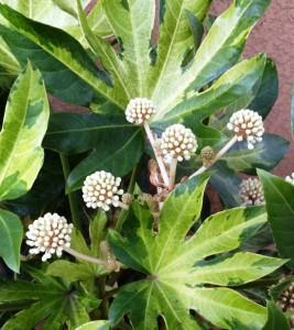 camouglage variegated japanese aralia_02
