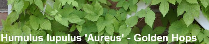 Humulus lupulus 'Aureus' -  Golden Hops