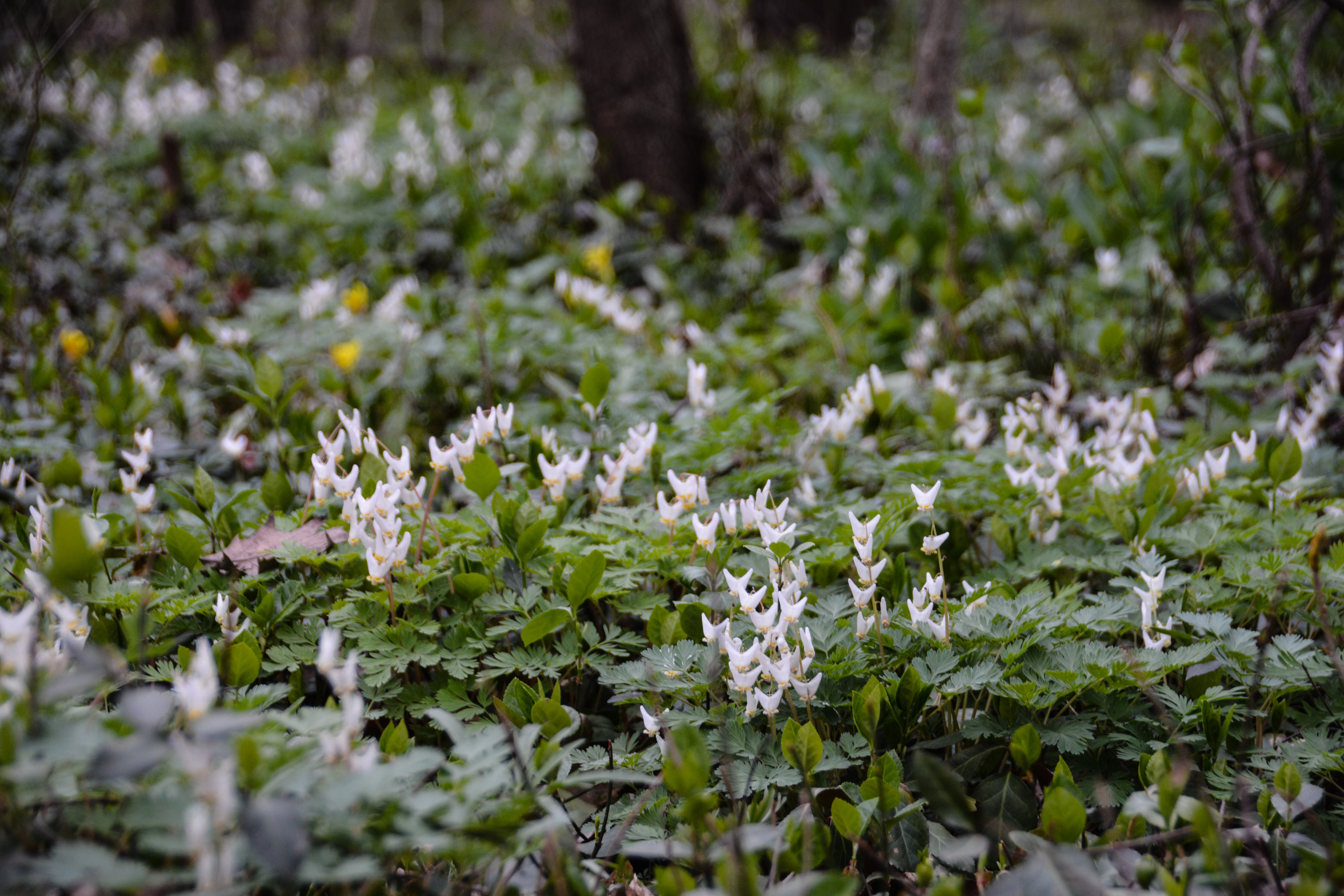 Dutchman's Breeches - Dicentra cucullaria ,Spring in Ohio, Thinking Outside the Boxwood