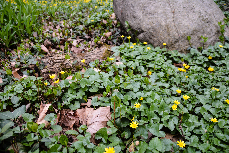 Marsh Marigold-Caltha palustris, Spring in Ohio, Thinking Outside the Boxwood