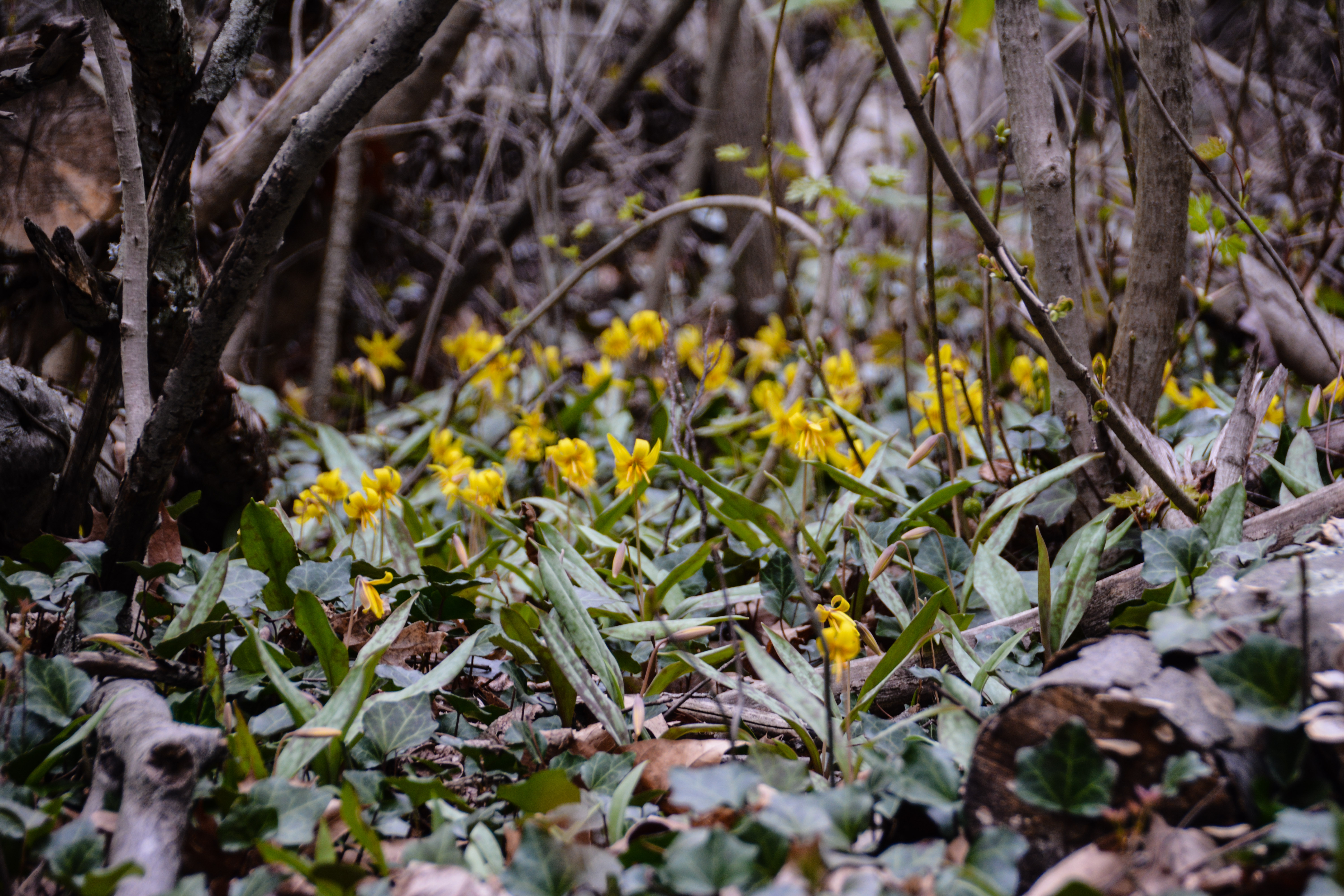 Trout Lily -Erythronium americanum, Spring in Ohio, Thinking Outside the Boxwood
