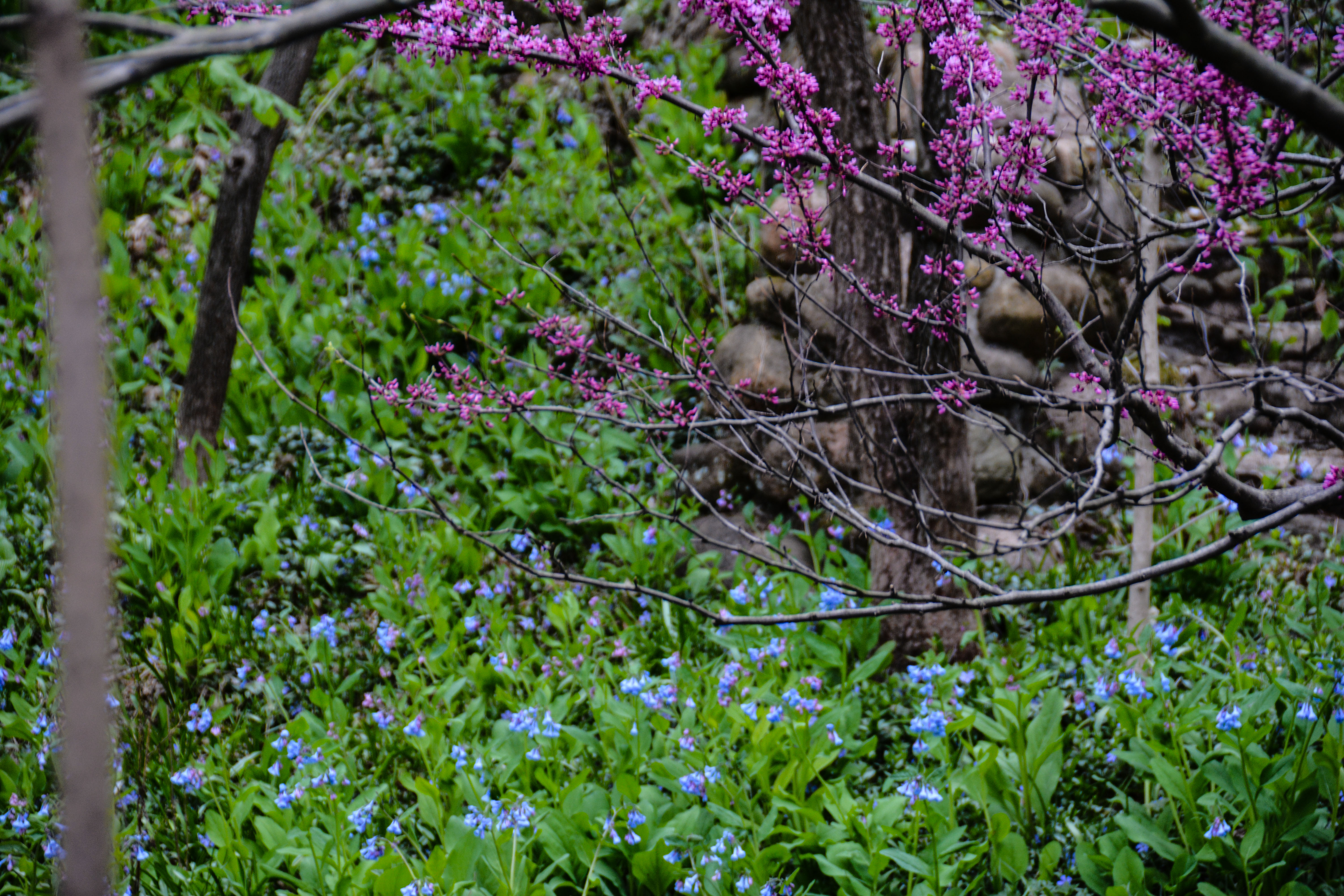 Cercis canadensis- Eastern Redbud & Virginia bluebells- Mertensia virginica ,Spring in Ohio, Thinking Outside the Boxwood