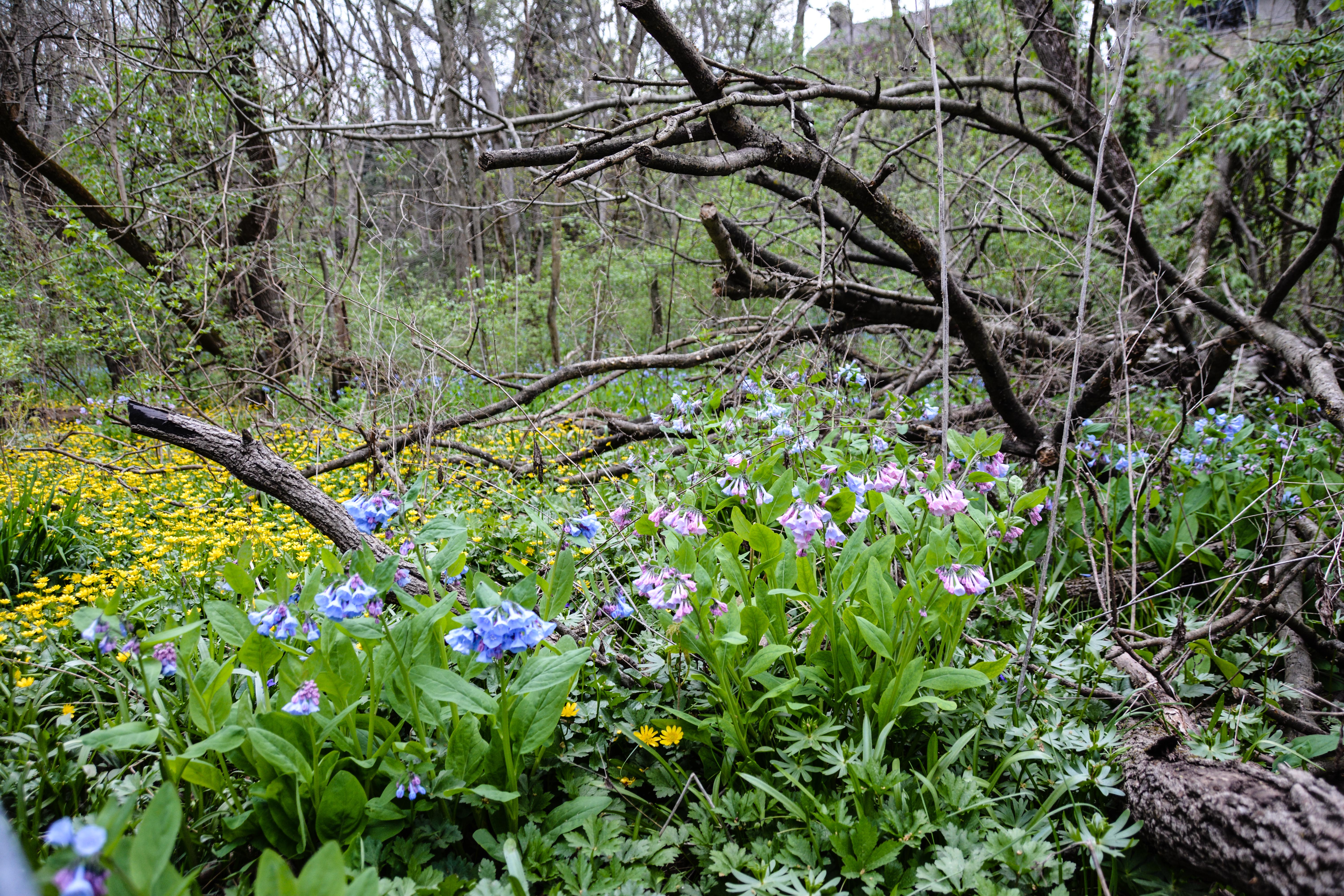 Virginia bluebells- Mertensia virginica ,Spring in Ohio, Thinking Outside the Boxwood
