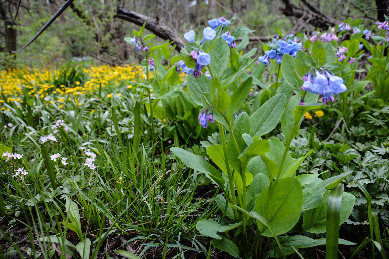 Virginia bluebells- Mertensia virginica ,Spring in Ohio, Thinking Outside the Boxwood