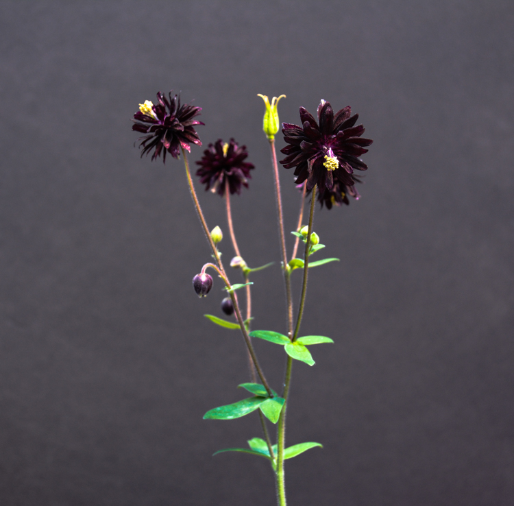 Plant Crush: Aquilegia vulgaris 'Black Barlow', Thinking Outside the Boxwood