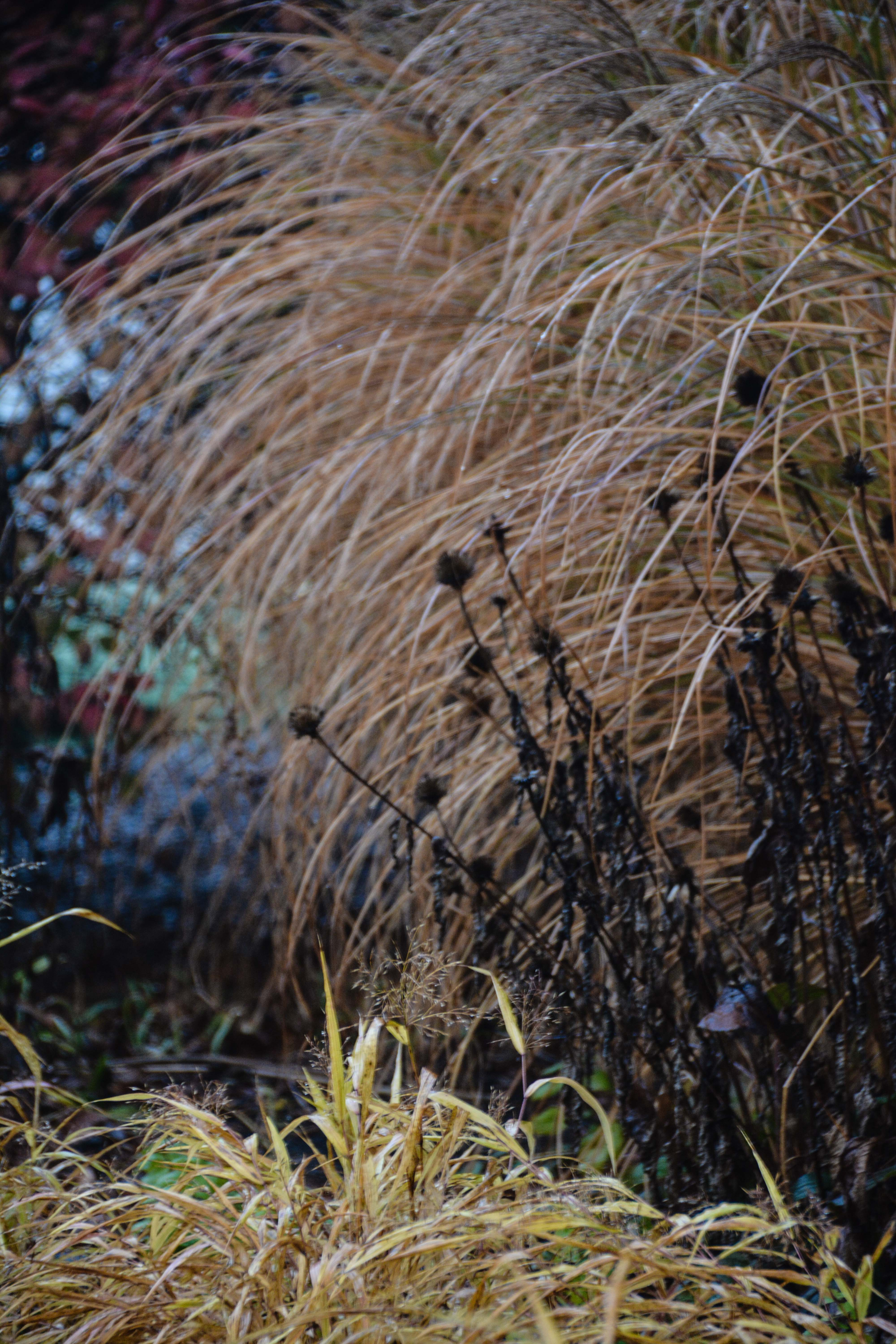 Miscanthus sinensis 'Gracillimus'- eulalia grass, Echinacea purpurea- coneflower, Hakonechla 'All Gold'- Japanese forest grass, Beauty in Decay, Thinking Outside the Boxwood
