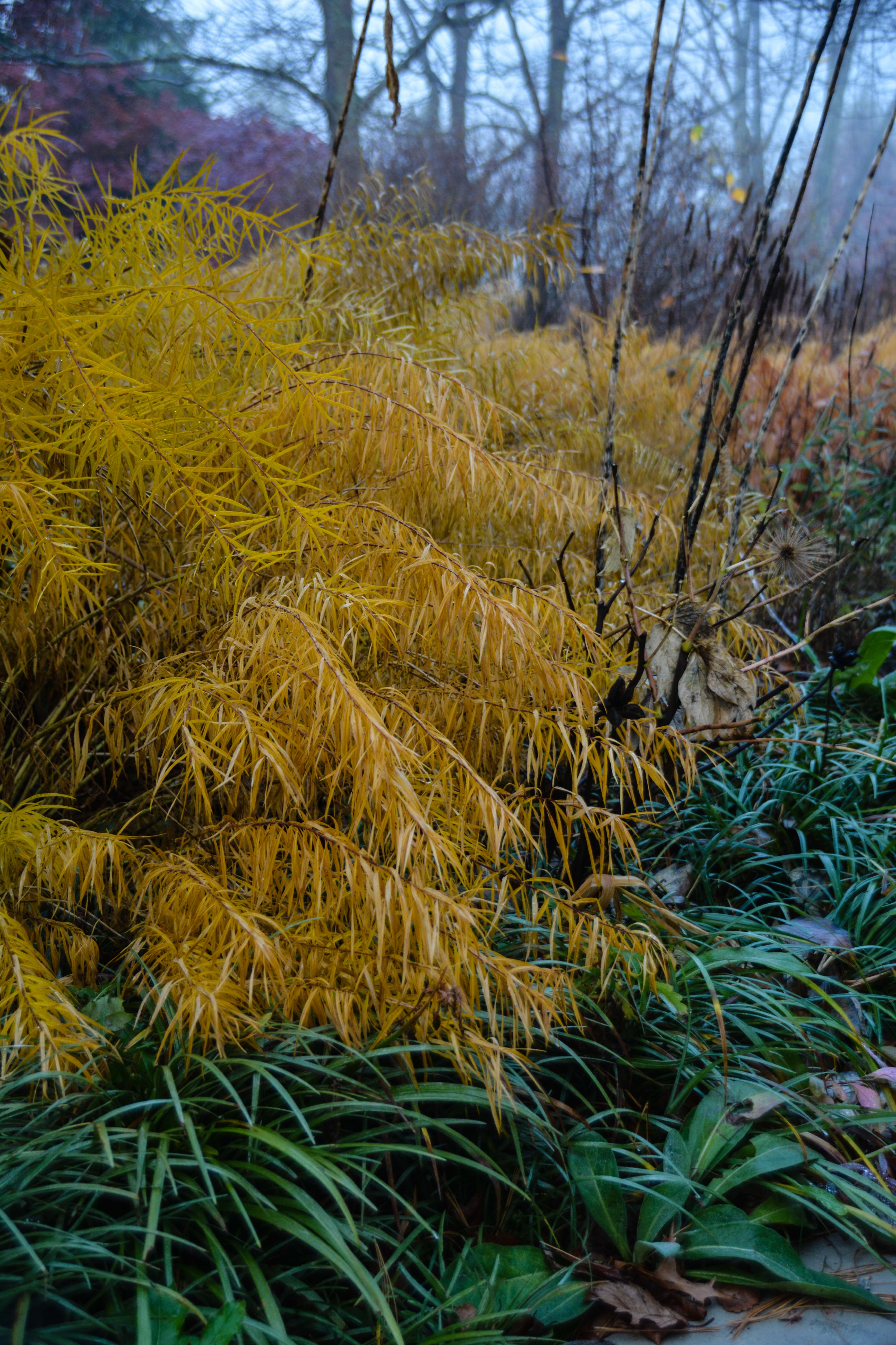 Amsonia hubrichtii- blue star, Beauty in Decay, Thinking Outside the Boxwood