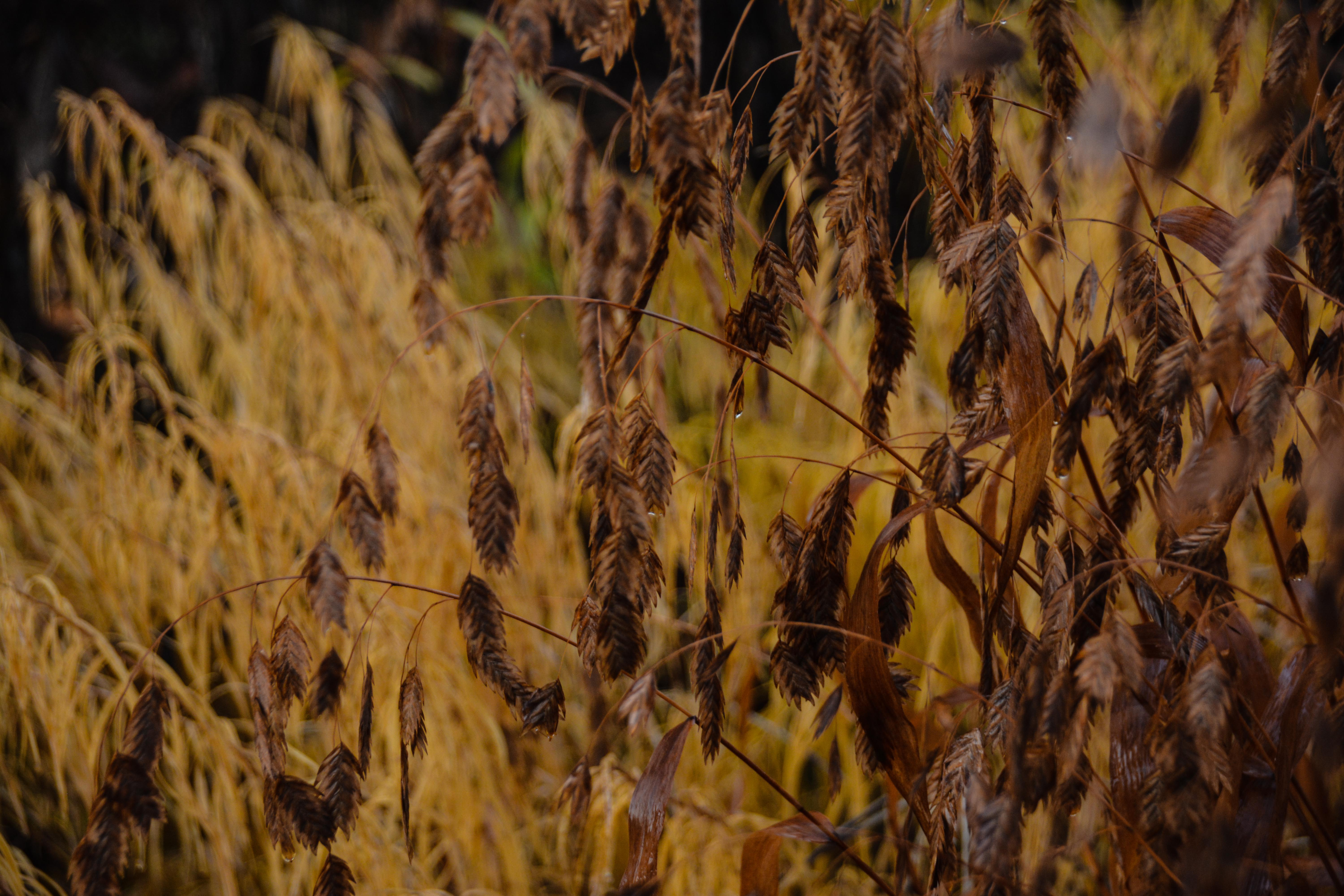 Chasmanthium latifolium- norther sea oats, Beauty in Decay, Thinking Outside the Boxwood