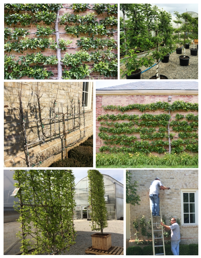 How to Train an Espalier, Thinking Outside the Boxwood