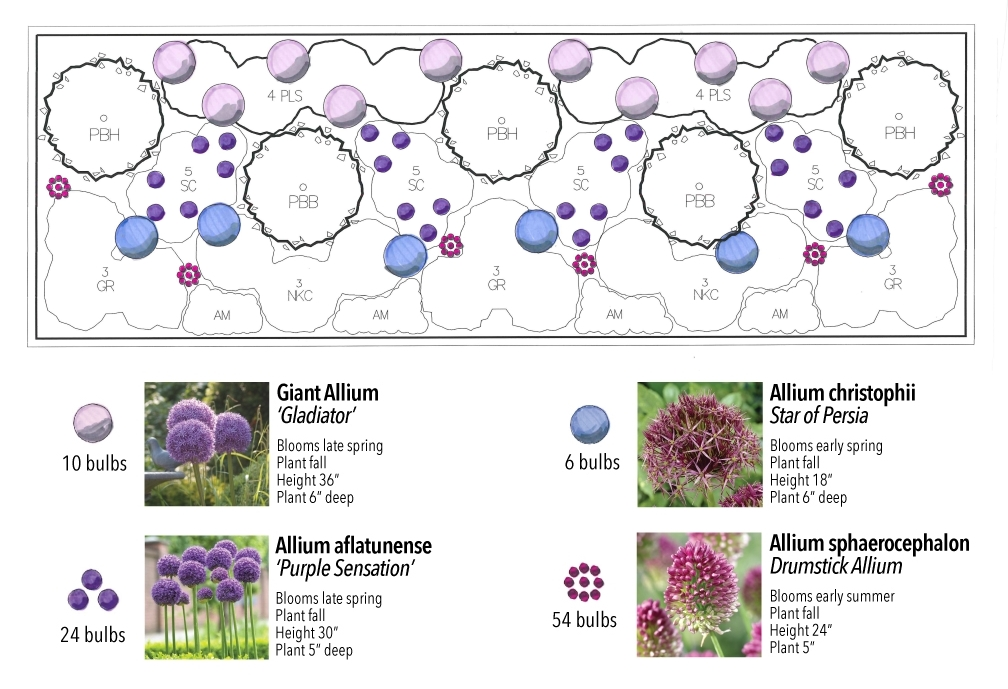 Bountiful Blooms, a jeweled tone perennial border highlighting the spherical, fluffy heads of alliums from Longfield Gardens and Thinking Outside the Boxwood. Allium planting design for fall planting.