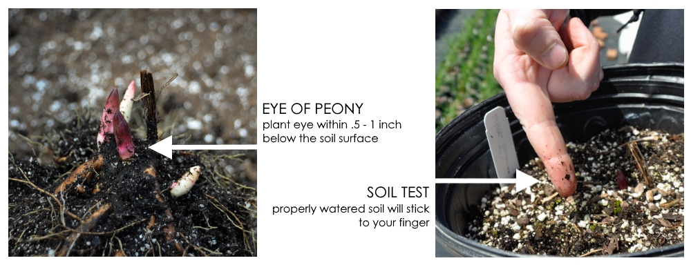 Eye of peony - plant eye within .5-1 inch below hte soil surface. Test soil for moisture, properly watered soil will stick to your finger.  Details for planting Bountiful Blooms garden design from Longfield Gardens and Thinking Outside the Boxwood.