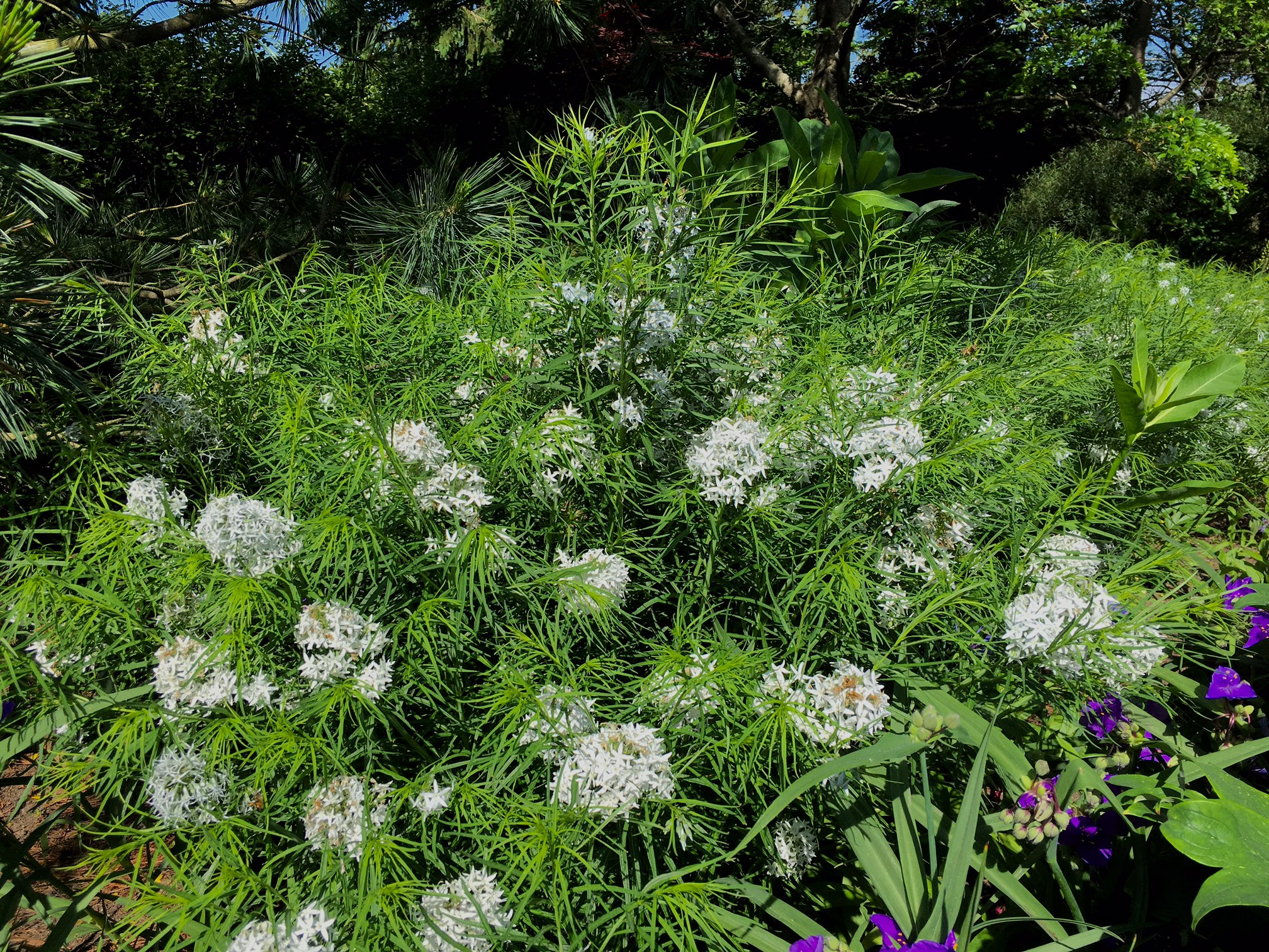 Plant ID: Amsonia, Thinking Outside the Boxwood, Amsonia hubrichtti