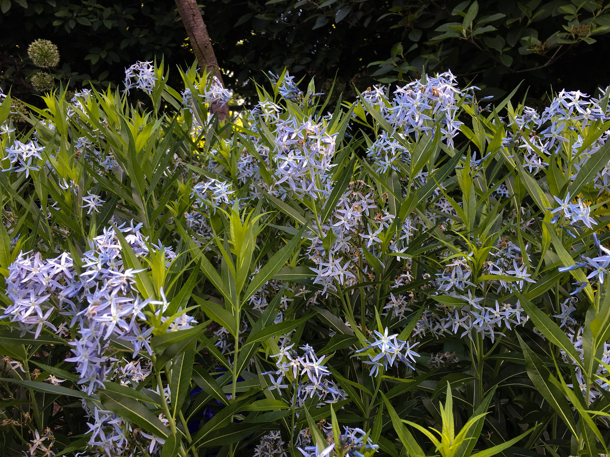 Plant ID: Amsonia, Thinking Outside the Boxwood, Amsonia tabernaemontana