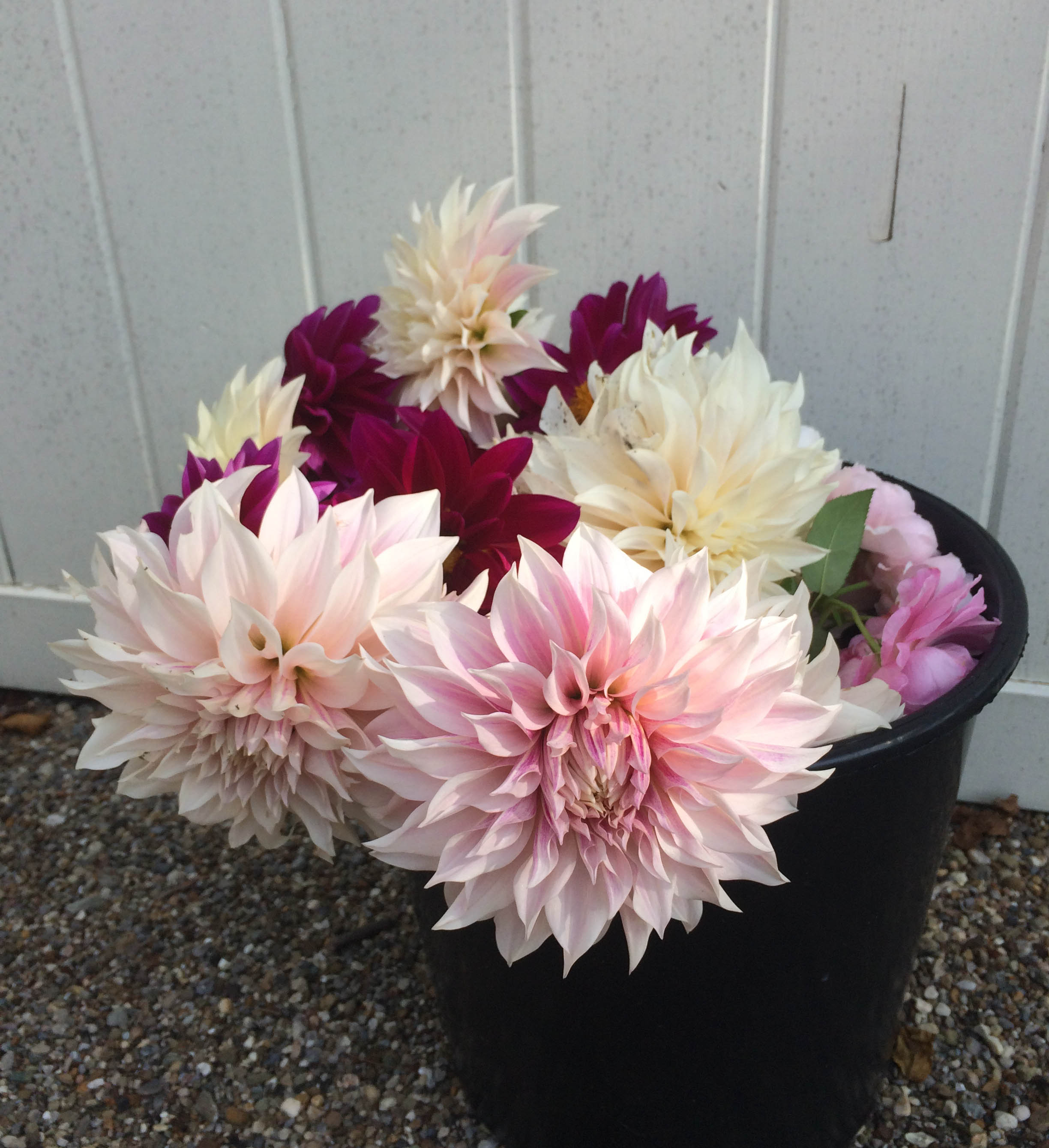 How to add Dahlias to Your Garden, Thinking Outside the Boxwood