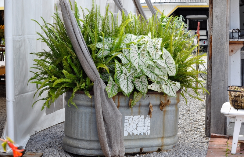 How to use Caladiums in summer containers. Combo includes Caladium 'White Christmas' with ferns. More at Thinkingoutsidetheboxwood.com