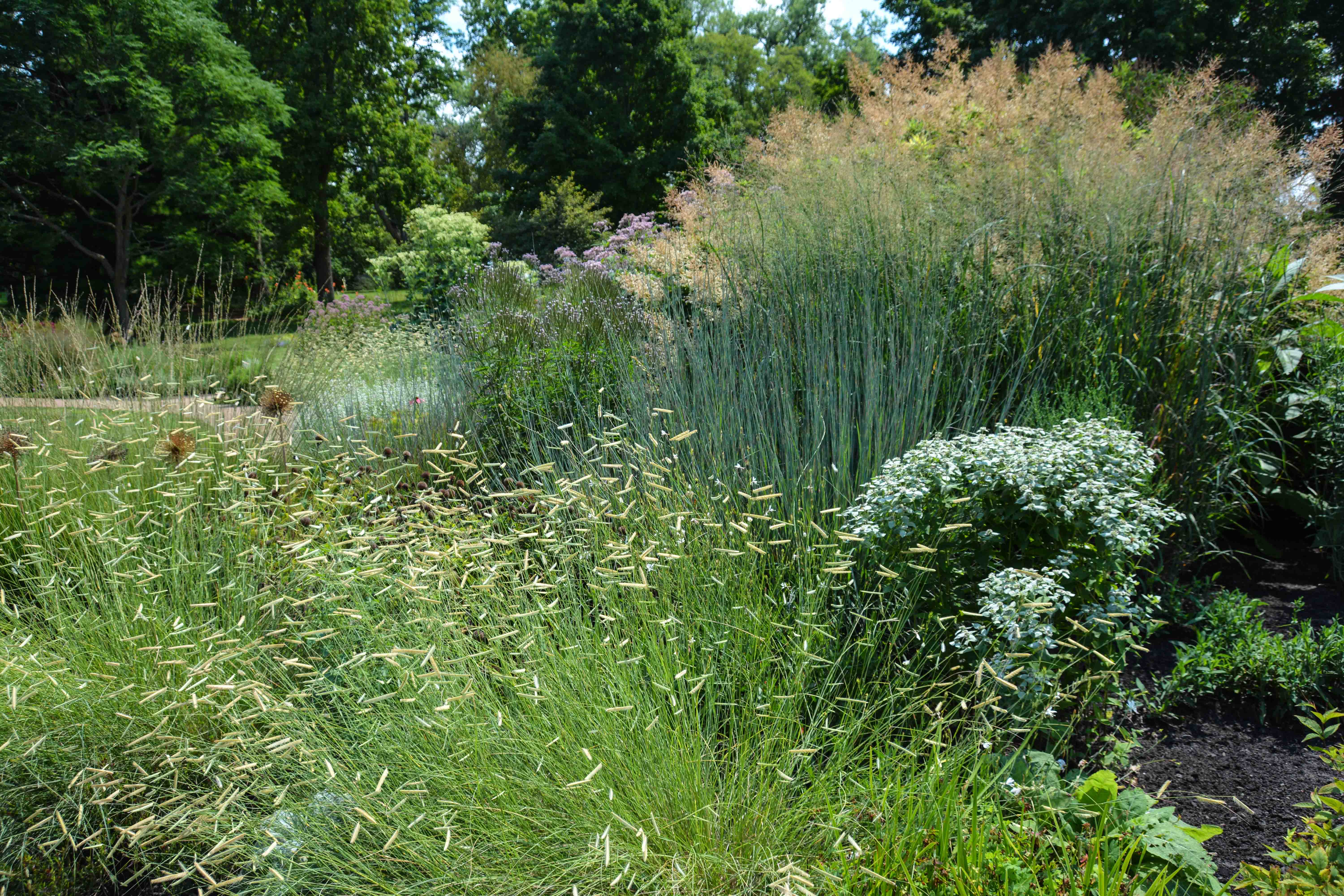 Bouteloua gracilis 'Blonde Ambition', 7 Essential Ornamental Grasses, Thinking Outside the Boxwood