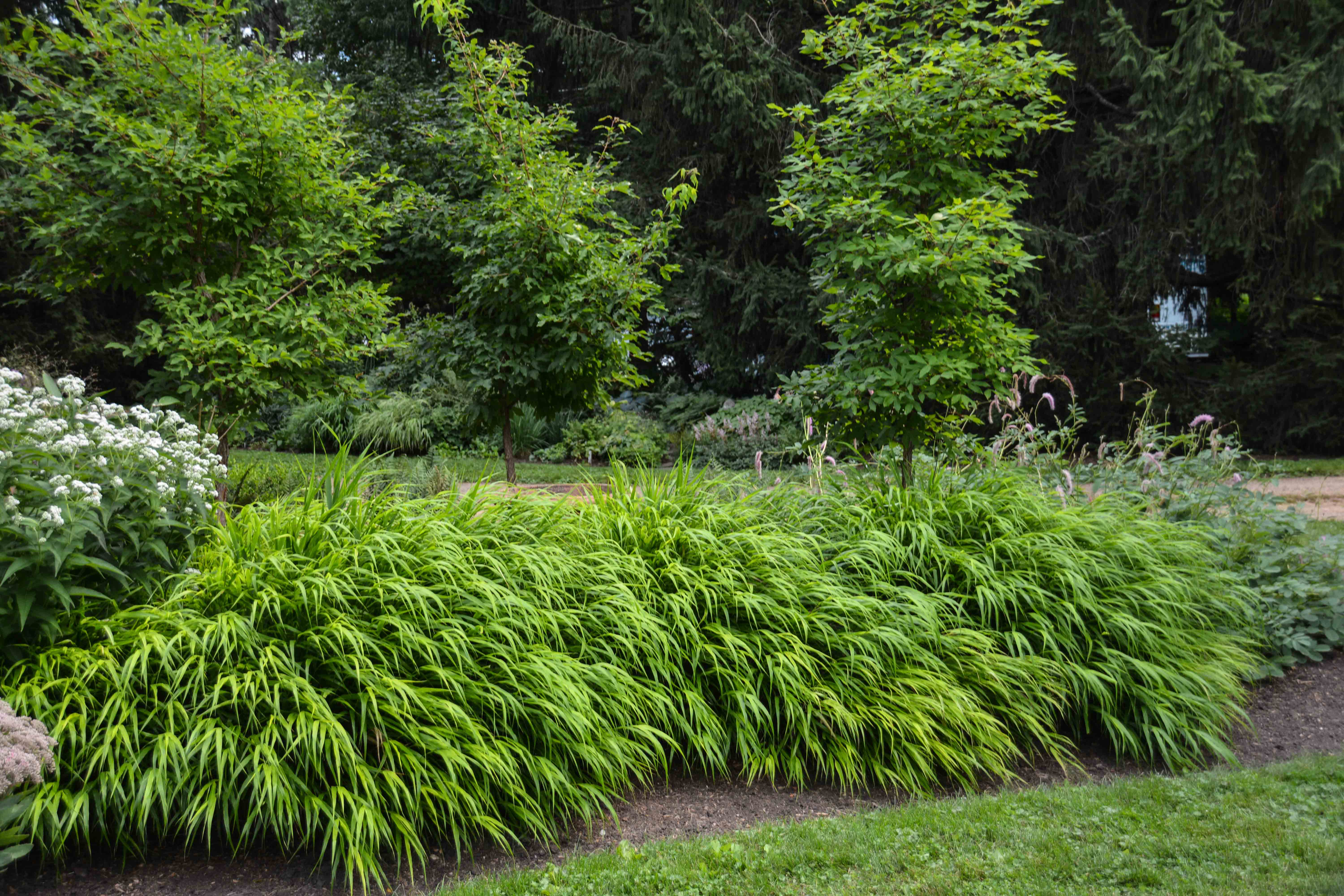 Hakonechloa macra, 7 Essential Ornamental Grasses, Thinking Outside the Boxwood