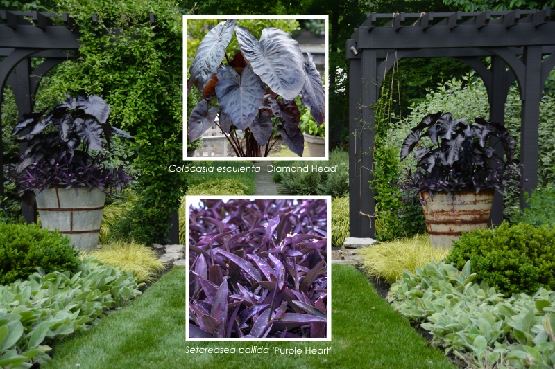 How to use Elephant Ears in Summer Containers. Containers feature - 'Portodora' elephant's ear Alocasia 'Portodora' More at ThinkingOutsidetheboxwood.com