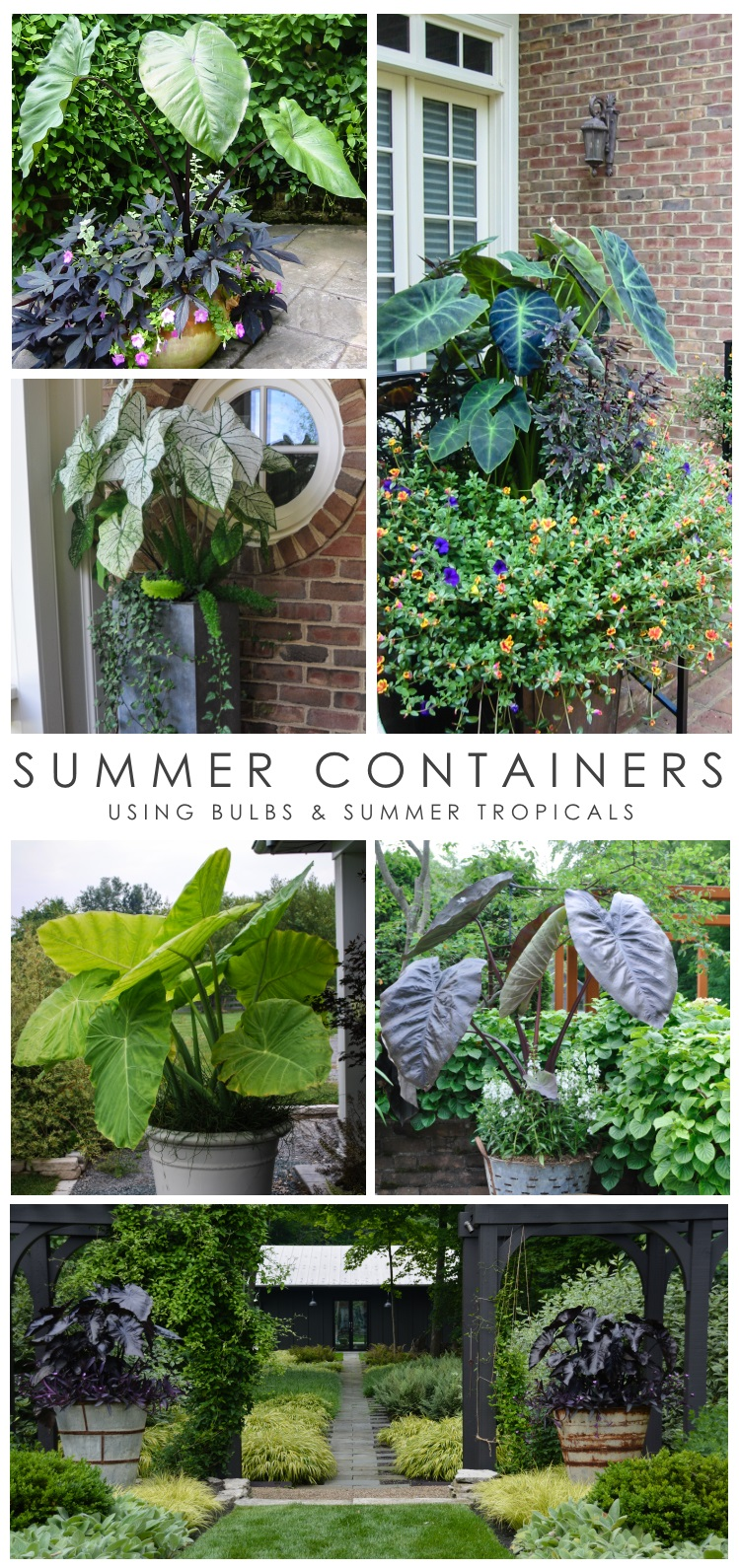 How to use Elephant Ears and Caladiums in containers for impactful summer containers. From from Thinking Outside the Boxwood